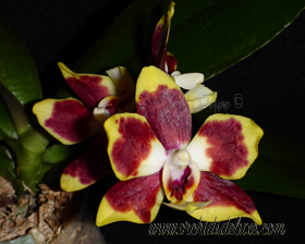 Phal. Lioulin Goldfinch x Sunrise Red Peoker #3