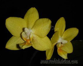 Phal. Lioulin Goldfinch x Sunrise Red Peoker #4